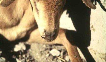 Морда козы, больной плевропневмонией