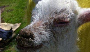 Фото козы пораженной болезнью, fermer.ru