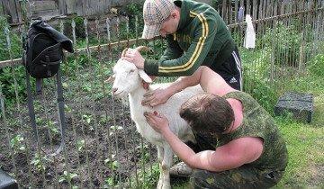 Вакцинация козы от бруцеллеза, zapovednik-vrn.ru