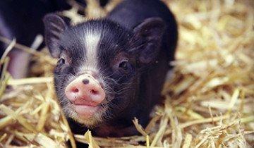 Карликовая свинья и секреты ее успешного разведения