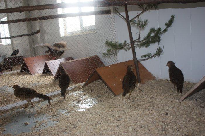 Помещение для фазанов