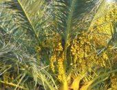 Цветущая финиковая пальма