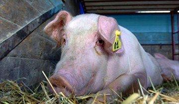 Мускусная свинья и другие популярные породы для домашнего свиноводства