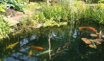 Изображение рыб в домашнем пруду, uniqway.com