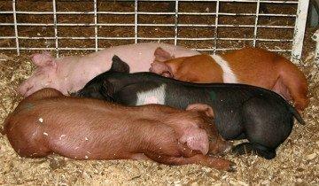 Фото подстилки для свиней из опилок, narod.ru