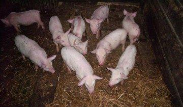 Выращивание свиней в домашних условиях, spk-vozrojdenie.narod.ru