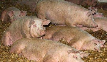 Канадский метод выращивания свиней, blogspot.com