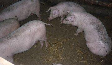 Фотография торфяной подстилки свинарнике, fermer.ru
