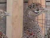 Молодняк фазана