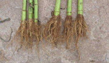 На фотографии корни подсолнечника, fb.ru