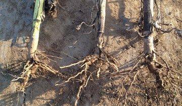 На фото корень подсолнуха, fermer.ru