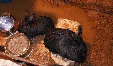 На фото кормление кроликов в яме, samaudacha.ru