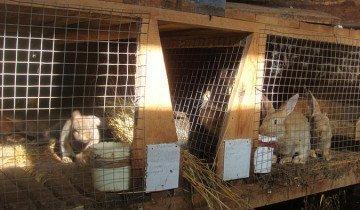На фото содержание кроликов в клетках, krolikoved.ru