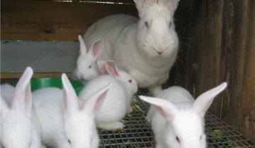 Кролик породы европейский Белый великан, lux-ferma.com.ua