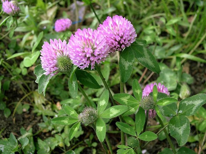Цветы сальвия: фото, описание, когда сажать, как ухаживать 4
