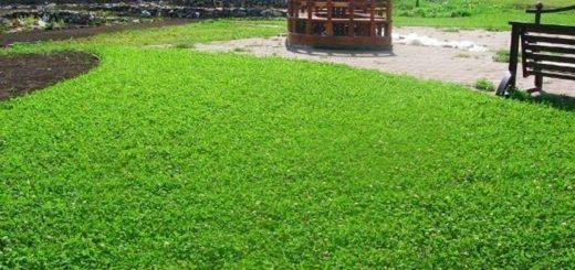 На фото газон из клевера, svoya-izba.ru