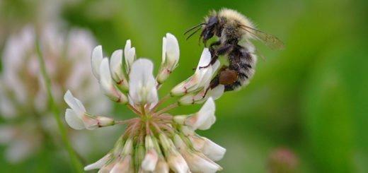 Пчела собирающая мед, prophotos.ru