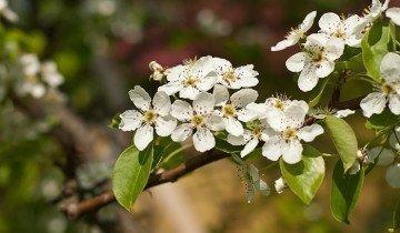 Изображение цветущей груши, nikityonok.ru