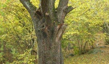 Старое грушевое дерево, geocaching.su