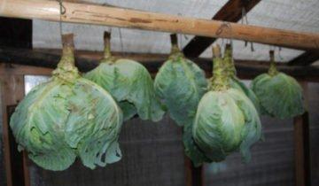 Хранение капусты в подвешенном виде, atmagro.ru