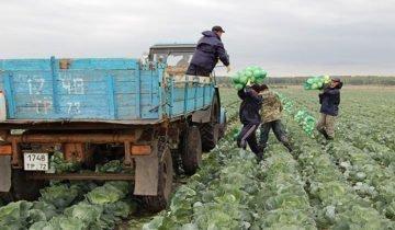 Изображение процесса транспортировки капусты, tumentoday.ru