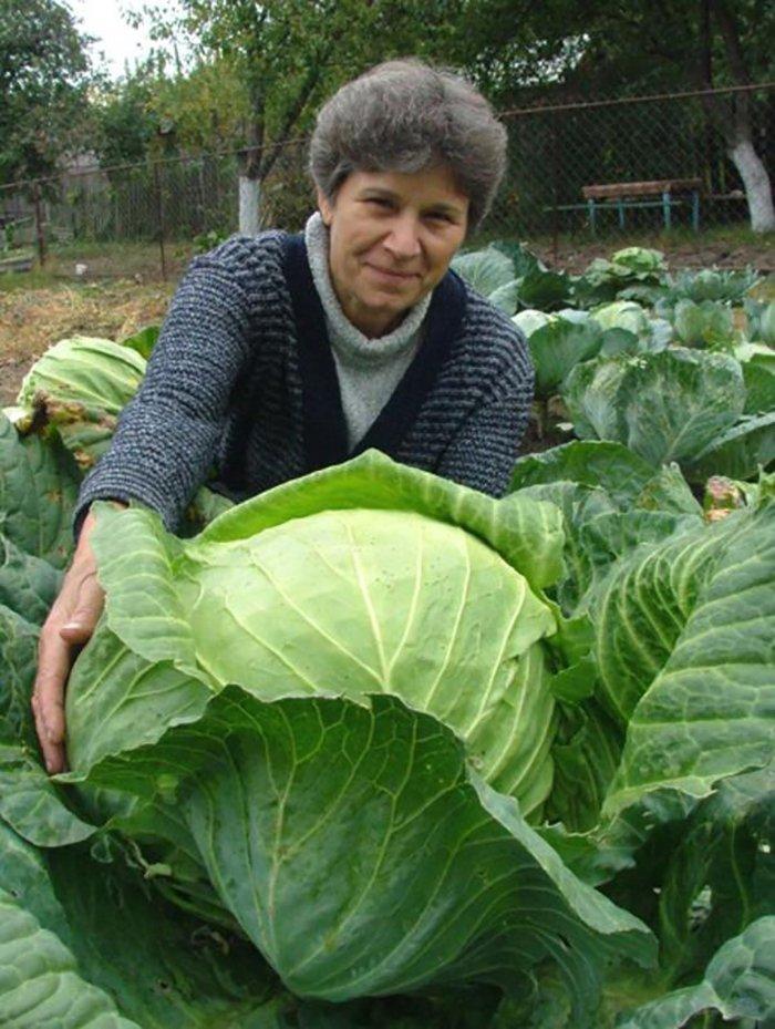 можно ли обрывать листья у поздней капусты