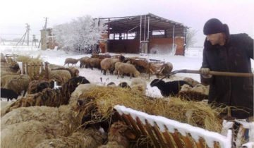 Процесс кормления овец, atmagro.ru