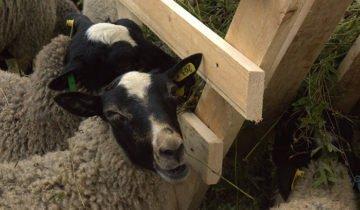 Кормушка из планок на пастбище овец, spichino.ru