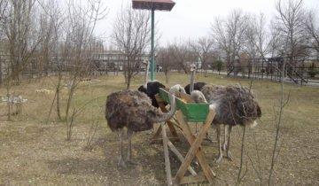 Фотография процесса кормления страусов, ubr.ua