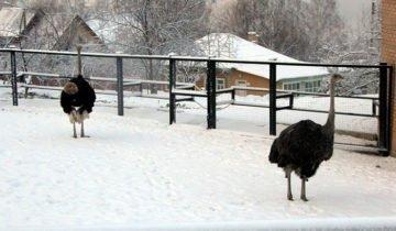 На фото выгул страуса зимой, websadovod.ru