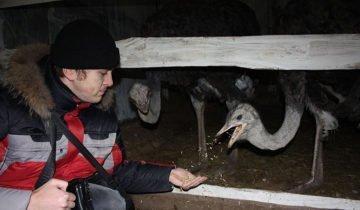 Фотография процесса кормления страусов, websadovod.ru