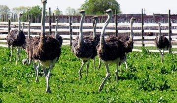 Фотография страусов в загоне, websadovod.ru