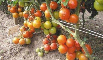 Высокоурожайные сорта помидоров, 1semena.ru