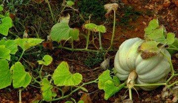 На фото выращивание тыквы, tecurate.ru