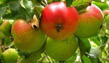 Лучшие зарубежные сорта яблок, выращиваемые на территории России