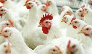 Болезни кур и их лечение – как оградить несушек от болезней