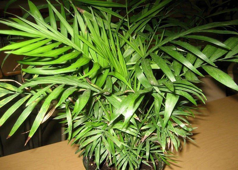 Уход за комнатными пальмами