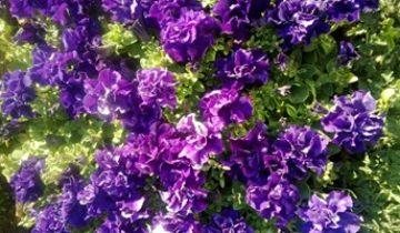 Петуния махровая — все секреты прекрасного цветка