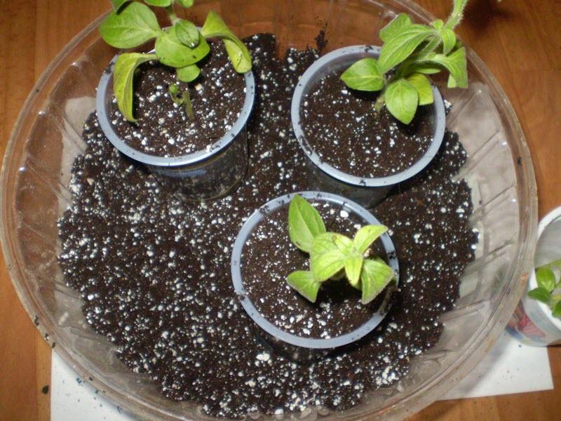 На фото выращивание махровой петуньи из семян, ideidetsploshad.info
