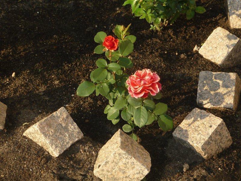 На фото посадка и уход за розами, landscape-msk.ru