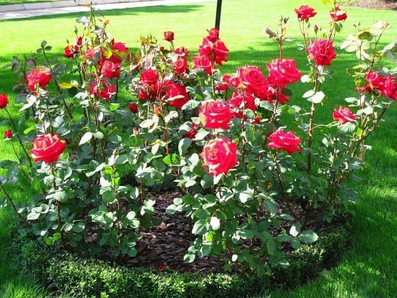 Фотография клумбы с розами, prizyv.ru