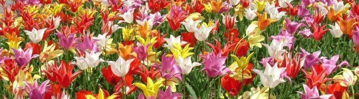 Голландские. тюльпаны