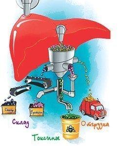 Биохимические функции печени