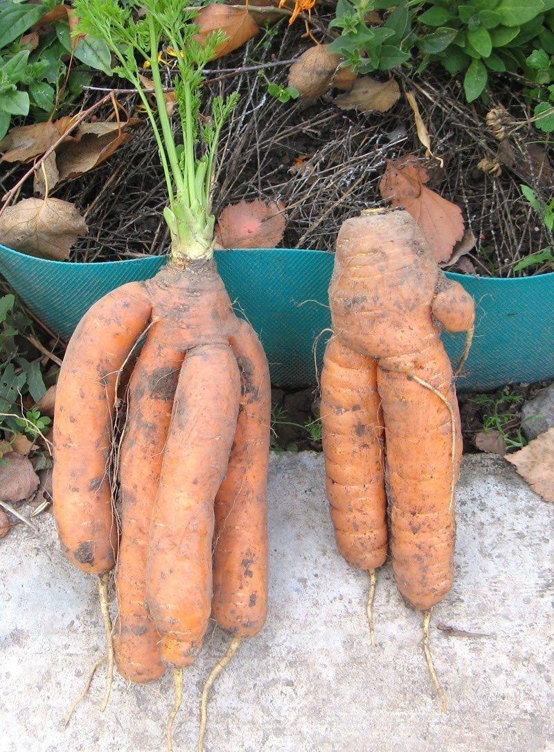 Фермерру выращивание моркови 94