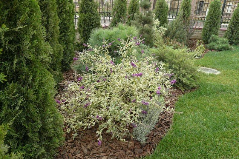 На снимке правильное размещение куста будлеи Давида в саду