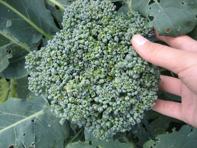 Снимок сбора урожая цветной капусты