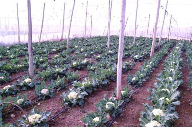 На снимке показано как правильно выращивать цветную капусту