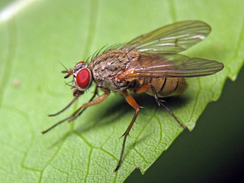 Фотография капустной мухи