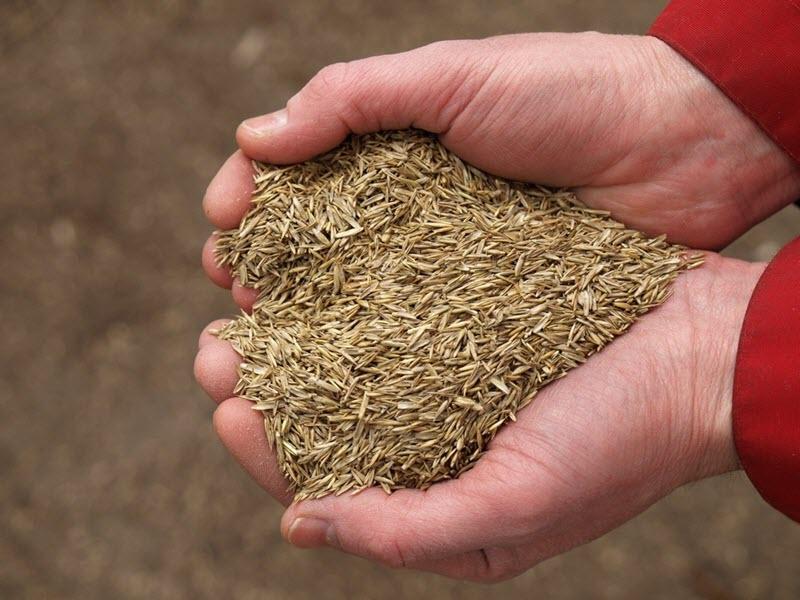 Фотография семян газонной травы