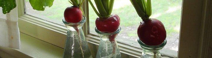Как вырастить редис на подоконнике зимой и обеспечить семью .